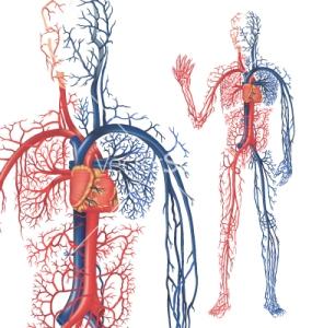 circulation-of-blood-vector-97672